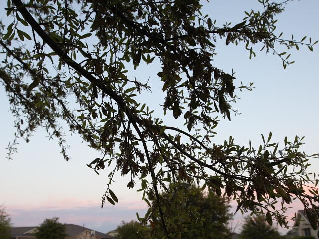 Oak pollen #2