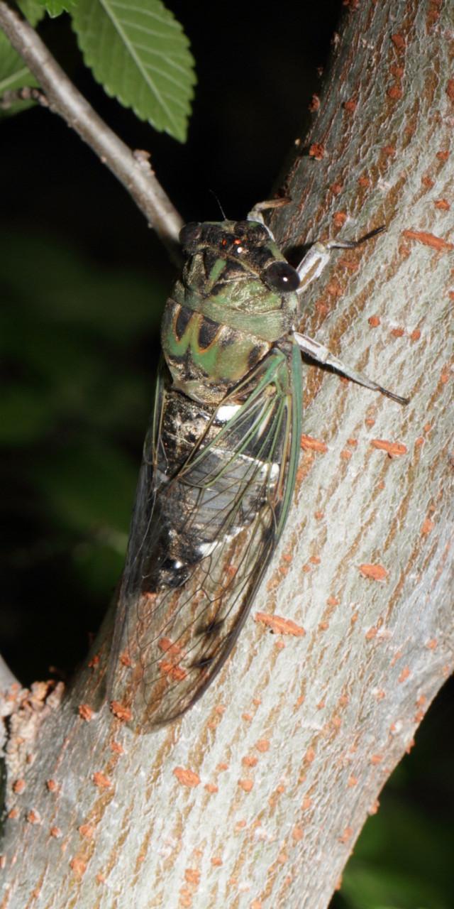 Texas Cicada