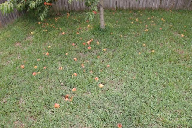 Peaches on the ground