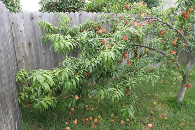 Peach tree bent in half