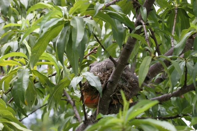 Peach bird nest